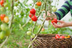 Svežije vreme: Povoljni uslovi za razvoj biljnih bolesti u usevima povrća