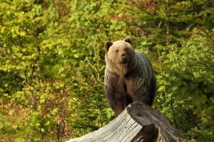 Medvjedi - od vandala i turističke atrakcije do odstrela