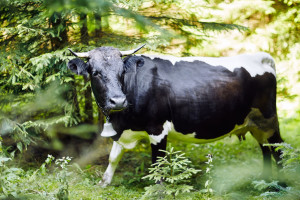 Bez posjedovanja stoke više ne možete dobiti šumsko zemljište u zakup!