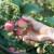 Toplo i sunčano vreme pogoduje patogenima jabuke
