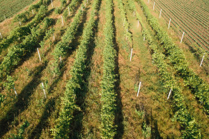 Zlatna žutica vinove loze može se dobro kontrolirati kombinacijom mjera