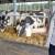 TISUP: Cijena mlijeka rasla u rujnu, procjena je da se trend nastavio i u listopadu