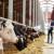 Kada i kako obaviti remont stada muznih krava?