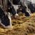 Što je veća proizvodnja mlijeka, kravama više odgovara hladnije vrijeme