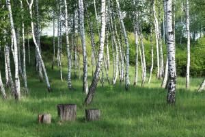 Kako uzgajati drvenaste kulture kratkih ophodnji za proizvodnju biomase