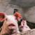 ASK u Negotinu: Eutanazirano do 250 svinja - stočari će dobiti novčanu nadoknadu
