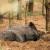 Danska više nema divljih svinja - posljednja usmrćena zbog prevencije od ASK