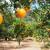 Više od polovice EU narandži dolazi iz Španjolske