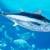 Plavoperajna tuna: Koji su kriteriji za ostvarivanje prava na udičarsku kvotu?