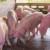 Niske cijene svinjetine u Kini narušile tržište u Njemačkoj