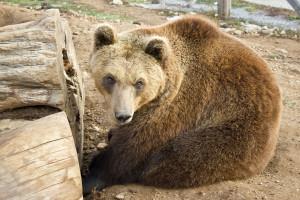 Biokovo i Mosor novo stanište smeđeg medvjeda?
