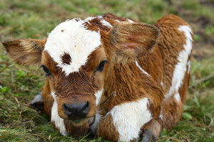 Dolaze bolji dani za stočarstvo? Kroz program potpore do 24 milijuna kuna za uzgoj goveda, koza, ovaca i peradi!