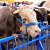 TISUP: Niže otkupne cijene živih životinja na sajmovima i otkupnim mjestima