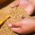 Prvi u svijetu odobrili sjetvu GMO pšenice otporne na sušu