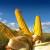 Vaga ne laže: DEKALB hibridi daju veće prinose, a sad imaju i nova dva hibrida kukuruza