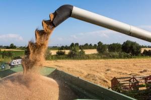 Pšenica u Srbiji najskuplja u regionu: Mlinari žito nabavljaju u Mađarskoj