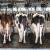 Otkupne cijene mlijeka neznatno porasle u ožujku, za travanj se očekuje blagi pad