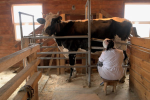 Kako spriječiti prikrivene upale vimena muznih krava