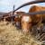 273 korisnika ostvarilo potporu za kupovinu steonih junica