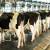 Porazna statistika: U godinu dana broj muznih krava u Hrvatskoj smanjen za 15 posto