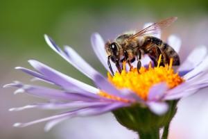 Pčele shvaćaju da je nula manje od jedan!