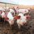 Izvanredna potpora: EK odobrila 2,5 milijuna eura za stočarstvo