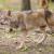 EK odlučila: za štete od vukova ili drugih zaštićenih divljih životinja - 100% odšteta!