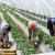 Sezonci dnevno zarade do 2.500 dinara, na njivi i stariji od 70 godina