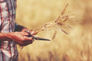 Očekuje nas najmanja proizvodnja ječma u zadnjih šest godina?