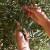 Uz berbu režite suvišne grane i ne zaboravite na gnojidbu maslinika