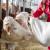Dobrobit životinja na poljoprivrednim gazdinstvima nije usklađena sa evropskim pravilima