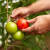 Za zdrave plodove paradajza oprezno sa azotnim hranjivima i uklanjajte zaperke