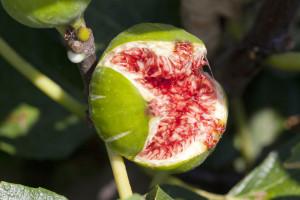 Donesen Akcijski plan sprječavanja širenja i suzbijanja sredozemne voćne muhe!