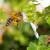 Zamjena za neonikotinoid podjednako opasna po pčele?