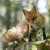 Počela prolećna vakcinacija lisica i drugih divljih mesojeda protiv besnila