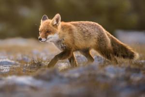 Započela je proljetna kampanja oralne vakcinacije lisica