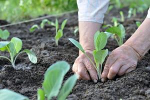 Juli je idealan za rasađivanje i sijanje povrća