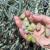Berba maslina: tehnološku zrelost pokazale su tek tri sorte na tri uzgojna područja