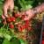 Tretiranje jagoda insektima umesto pesticidima