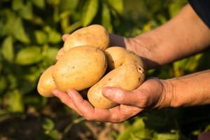 """Prvo na svijetu biljno """"mlijeko"""" od krumpira proizvedeno u Švedskoj"""