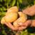 """Prvo na svetu biljno """"mleko"""" od krompira proizvedeno u Švedskoj"""