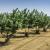Šire se zasadi lešnika u Sremu - važnost sortimenta i navodnjavanja