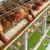 Temperature preko 26°C u kokošinjcu predstavljaju rizik, šta uraditi?