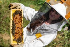 Priprema pčelinjih društava za bagremovu pašu