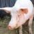 Jačanje svinjogojstva: Projekti izgradnje reprocentara teški 410 milijuna kuna