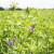 Lucerna - zeleno zlato koje se uspješno uzgaja i u pustinjama