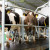 TISUP: Cijene mlijeka na domaćem tržištu blago pale, a na EU rasle