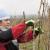 Zašto i koliko odgađati početak zimske rezidbe vinograda