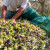 Coratina - maslina prilagodljiva škrtim terenima i s obilnom rodnosti