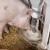 Cene svinja drastično padaju u Kini - farme u dugovima